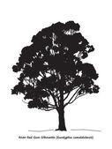 Eucalyptus camaldulensis — Stock Vector