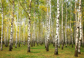 Evening autumn birch forest in sunlight — Stock Photo