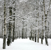 Alley winter trees — Stock Photo