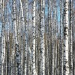 Birches on blue sky — Stock Photo #65888273