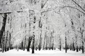 Winter birch trees — Stock Photo