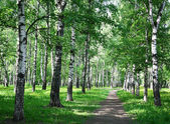 Morning walk in the spring birch city park — Stok fotoğraf