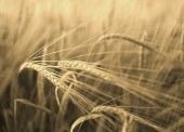 Barley field in sunshine.  — Stock Photo