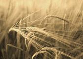 Barley field in sunshine.  — Stock Photo