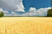 Field of oats. Countryside. — Stock Photo
