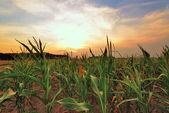玉米田的日落. — 图库照片