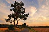 One pine tree on sunset. — Stock Photo