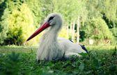 Stork in green grass — Stock Photo