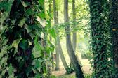 Trees with ivy — Stock Photo