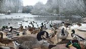 Ducks, geese and swan — Stock Photo