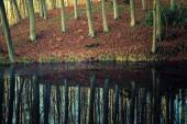 Beech forest and its reflection in the lake. — Stock Photo