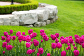 Display of colorful magenta tulips — Stock Photo