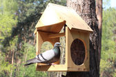 The pigeon sits in a nesting box — Fotografia Stock