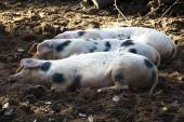 Three Happy Pigs — Stock Photo