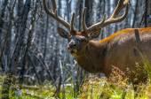 Beautiful Elk Yellowstone National Park — Stock Photo