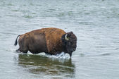 Wild Buffalo crossing a river — Foto de Stock