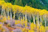 A row of aspen trees in the peak of the Fall colors — Stock Photo