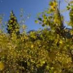Yellow Aspen Trees against blue Sky — Stock Video #59676165