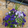Beautiful hanging basket of blue and purple pansies — Stock Photo #75027375