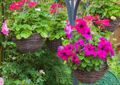 Hanging baskets with purple petunias — Stock Photo