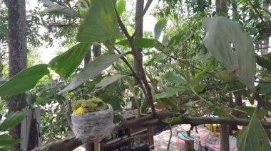 Especies de Iora común (Aegithina tiphia) — Vídeo de Stock
