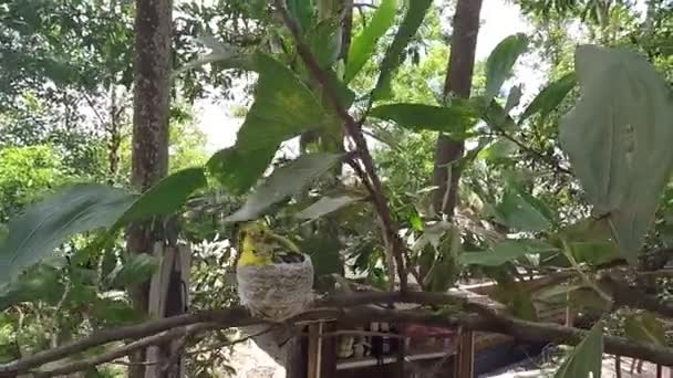 Species of Common Iora (Aegithina tiphia) — Vidéo