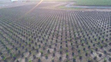 Palm Oil (Elaeis Guineensis) — Stock Video
