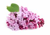 Lilac flower bunch. — Stock Photo