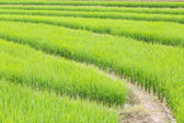 Rice field in Thailand — Stock Photo