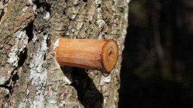 Infuus van birch sap in het vroege voorjaar in het bos — Stockvideo