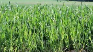 Green cereals in summer — Vídeo stock