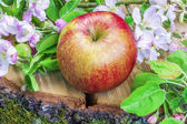 Apple with apple blossoms on wood — Stock Photo