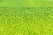 Green cereals field in summer — Stock Photo
