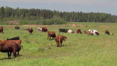 Cows at pasture — Stock Video