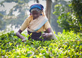 MASKELIYA, SRI LANKA - JANUARY 4 : Female tea picker in tea plantation in Maskeliya, January 4, 2015. Directly and indirectly, over one million Sri Lankans are employed in the tea industry. — Stock Photo