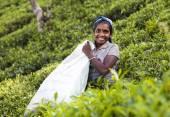 MASKELIYA, SRI LANKA - JANUARY 5 : Female tea picker in tea plan — Stock Photo
