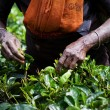 Tea picker woman's hands — Stock Photo #68465327