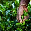Tea picker woman's hands — Stock Photo #68465361