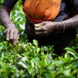 Tea picker woman's hands — Stock Photo #68465445