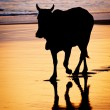 Cow at sunset on tropical beach in Sri Lanka — Stock Photo #68469359