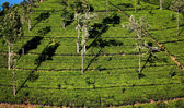 Tea plantation landscape in Sri Lanka — Stock Photo