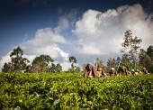 MASKELIYA, SRI LANKA - JANUARY 4 : Female tea picker in tea plan — Stock Photo