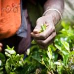 Tea picker woman's hands — Stock Photo #74949319