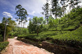 Thee plantage landschap in sri lanka — Stockfoto