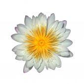 Güzel nilüfer hibrid çiçek. — Stok fotoğraf