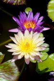 Beautiful waterlily Hybrid flower. — Stock Photo