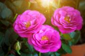 Small rose flower — Stock Photo