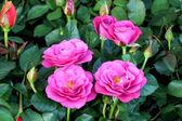 Small rose flower — Stock Photo