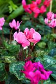 Pink gorgeous cyclamen flower — Stock Photo