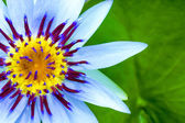 Close-up of Beautiful water lily hybrid flower. — Stock Photo